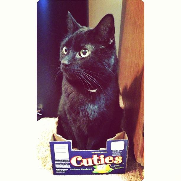My cat, Bez, sitting in a box for Cutie brand Mandarin oranges.