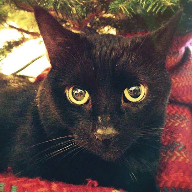 A closeup of a black cat laying beneath a Christmas tree